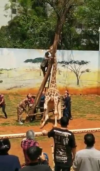 Жираф случайно убил себя в зоопарке, когда его шея застряла в ветке, пытаясь почесать шею