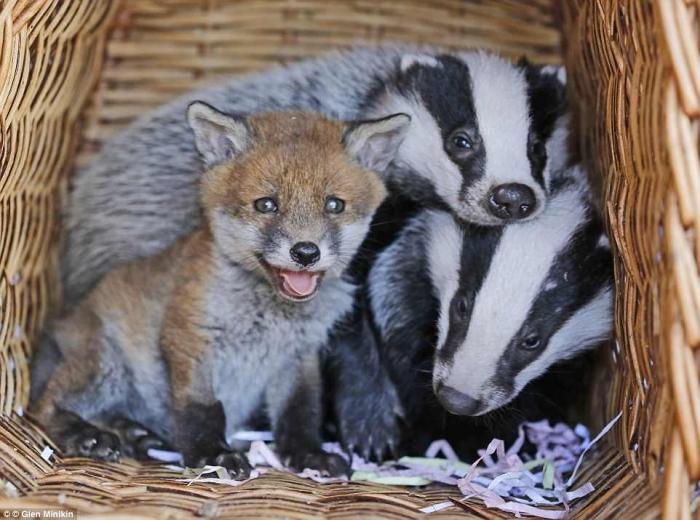Фиби, брошенный лисенок подружился в картонной коробке с двумя молодыми сиротками барсука в приюте для животных
