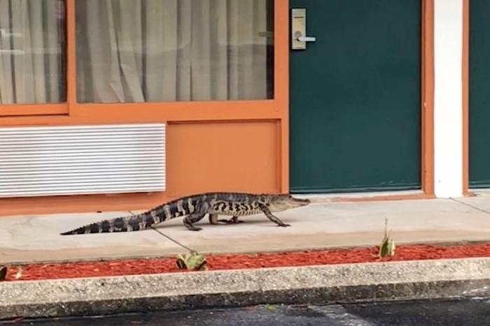 Аллигатор случайно зашел в гостиницу и пытался снять комнату