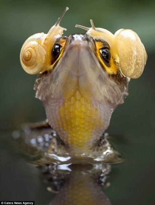 Улитки на крокодиле похожи на наушники