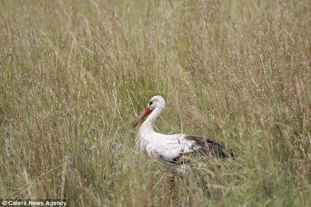 Птица чудесным образом выворачивается из когтей прыгающего леопарда, который прятался в траве