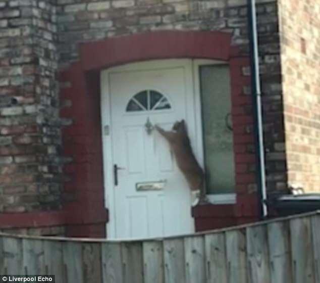Домашний кот взбирается на выступ, чтобы он мог постучать молоточком в дверь, чтобы его впустили