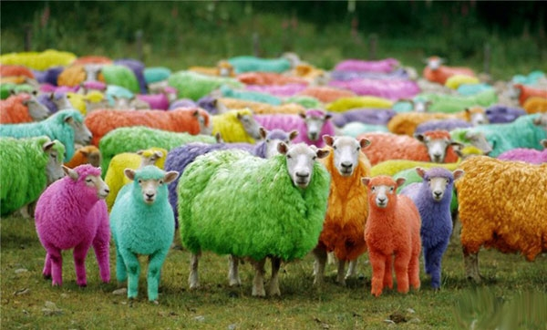 Цветные овцы