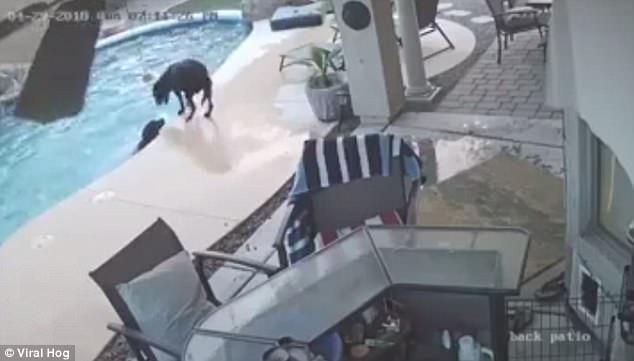 Геройская собака спасает своего друга не умеющего плавать, попавшего в бассейн, когда они были в доме одни