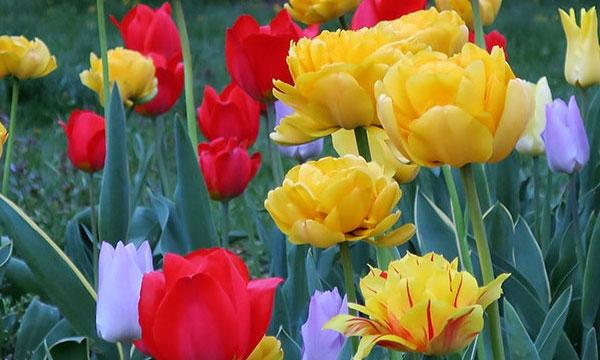 Спекуляция на тюльпанах