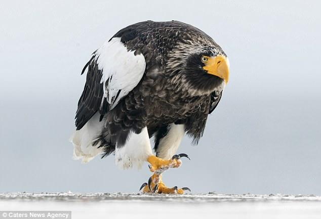 Орел прогуливается по набережной Монти-Питон в Японии