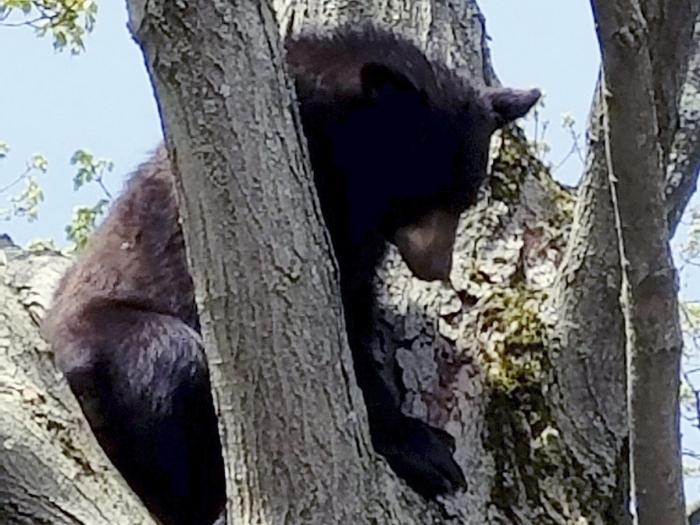Медведь заснул на дереве над игровой площадкой в Нью-Хэмпшире