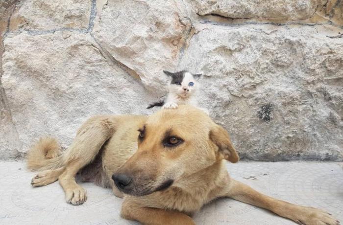 Осиротевшего котенка принимает собака, которая потеряла весь свой помет