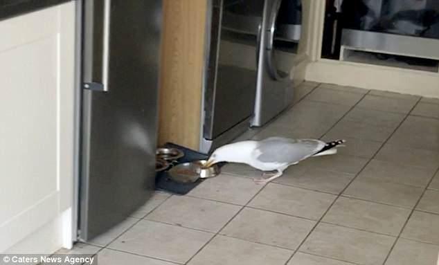 Хулиганистая чайка запугала двух домашних кошек, прежде чем зашла в дом, чтобы украсть их пищу