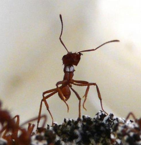 Муравьи используют «химическое оружие» для борьбы с паразитами, которые превращают их в зомби