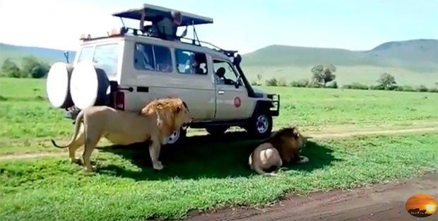 Тупой турист погладил льва во время сафари, закончилось все не очень хорошо