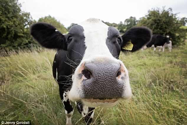 Каждый четвертый городской ребенок никогда не видел сельскохозяйственных животных, включая коров и овец