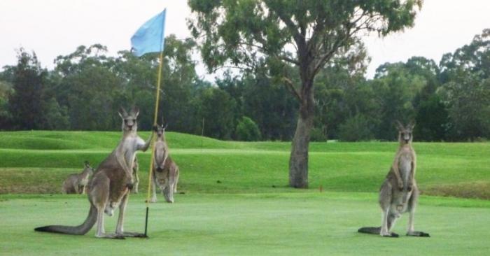 Группа кенгуру сходит с ума на поле для гольфа