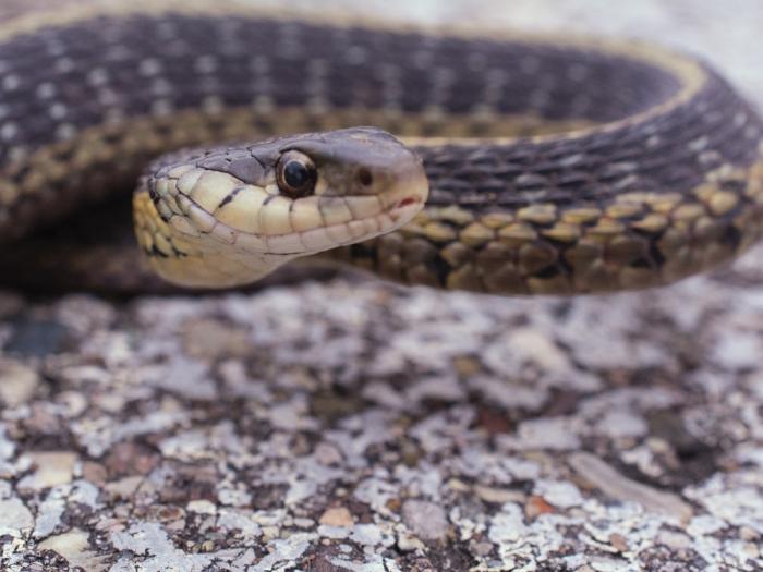 Змея вылезает из вентиляционного отверстия автомобиля