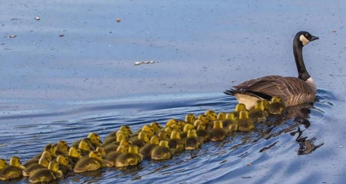 Гигантская стайка из 51 гусенка отправляется купаться с мамой на канадское озеро в первый раз