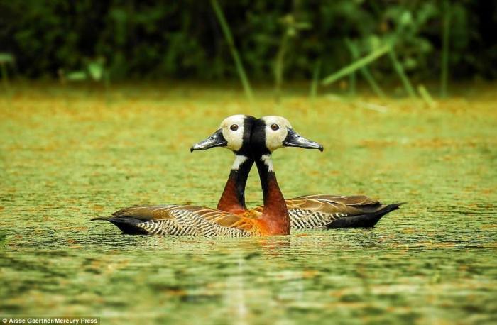 Две птицы смешиваются в одну причудливую оптическую иллюзию