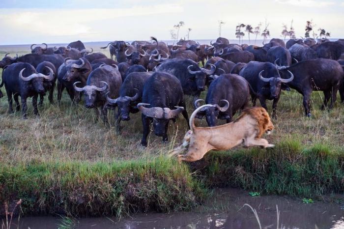 Разьяренные буйволы направляют свои рога на льва на удивительных снимках из заповедника Масаи Мары в Кении