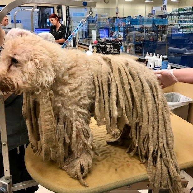 Собака получает столь необходимую стрижку после прибытия в приют, покрытая 2,5-килограммами сволявшихся дредов
