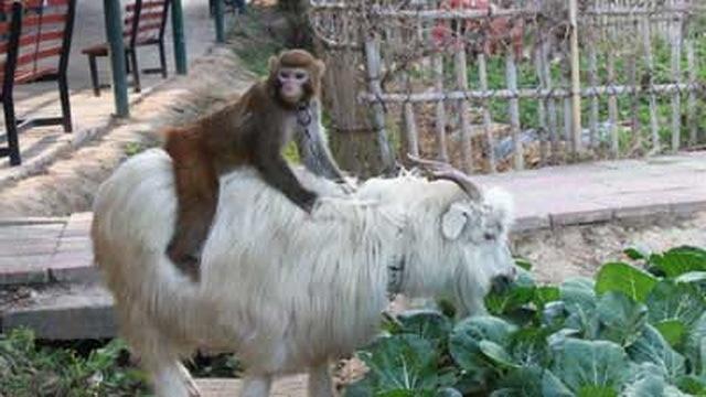 Необычное общение. Дружба между козами и обезьянами.