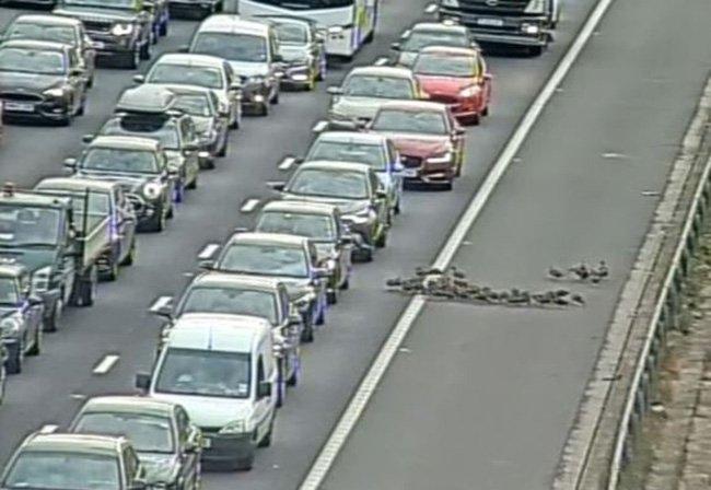 На шоссе образовалась часовая пробка, потому что 30 уток вышли на автомагистраль