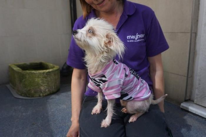 Собака перегрелась из-за ношении футболки при жаре 30 ° C