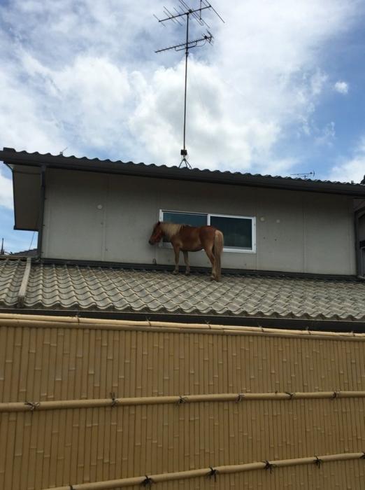 Пропавший пони, смытый потоком, найден живым на крыше дома