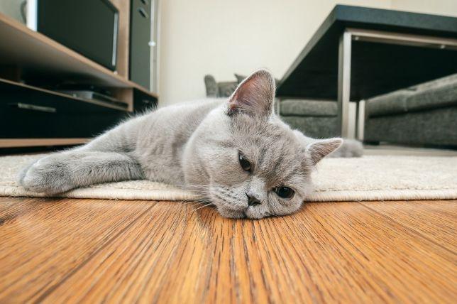 Как определить, грустит ли ваша кошка