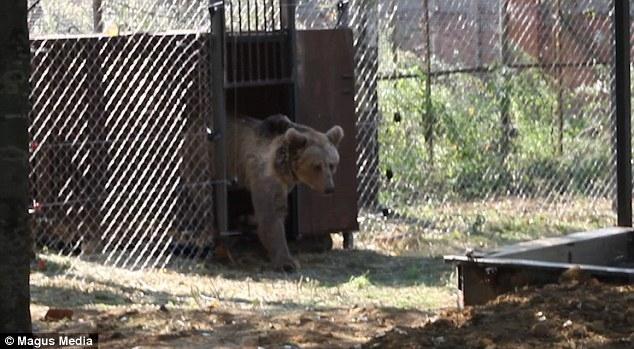 Наступил момент, когда цирковая медведица Маша была выпущена в новое место проживания после 19 лет намордника
