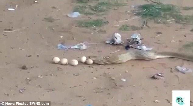 Кобра отрыгивает девять яиц через несколько мгновений после кражи их из курятника
