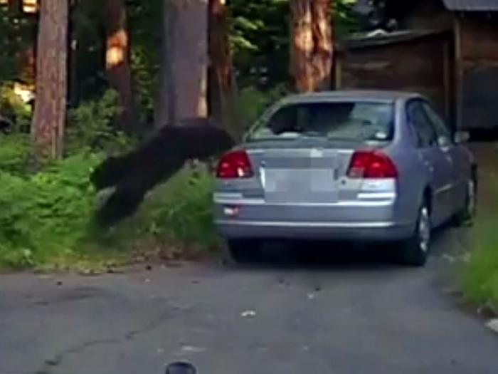 Калифорнийский полицейский стреляет в машину, чтобы освободить попавшего в ловушку медведя, ищущего еду