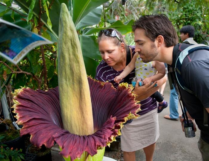 Посетители стекаются, чтобы увидеть своими глазами вонючий «трупный цветок» в полном расцвете в Калифорнии