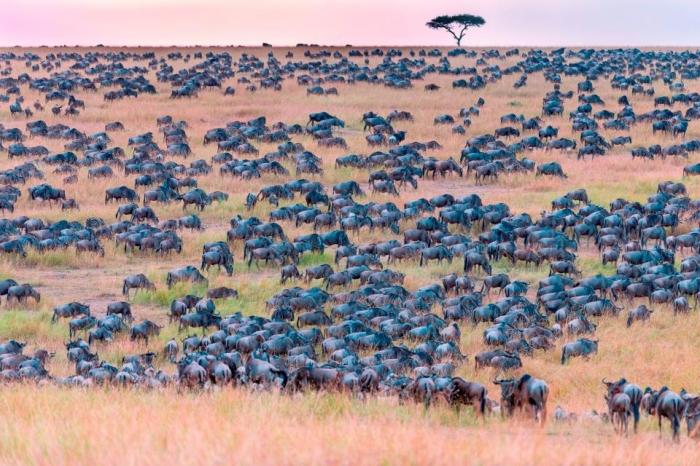 Можете ли вы заметить зебру, использующую свои полосы в качестве маскировки, чтобы спрятаться среди этого стада диких животных?