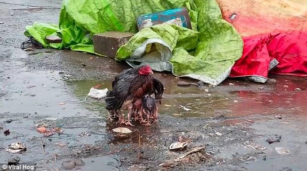 Курица-мать закрывает своим телом птенцов от дождя