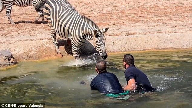 Хранители зоопарка спасли жеребенка зебры. Он чуть не утонул когда упал в воду сразу же после своего рождения