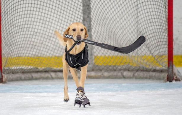 «Первая в мире» собака на коньках выглядит очень жизнелюбиво