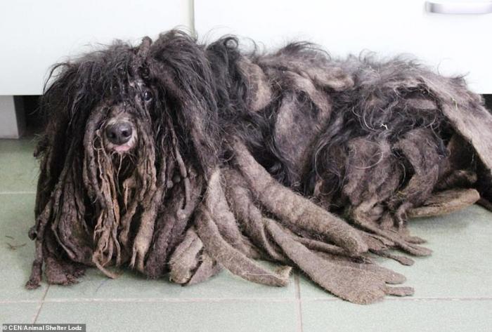 Собаку спасли от ужасных дредов, в которые свалялась её шерсть, что она едва могла ходить