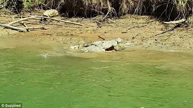 Огромный морской крокодил пожирает пресноводного крокодила