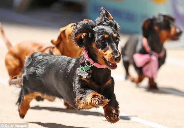 Десятки стремительных такс сражаются за титул самой быстрой колбасной собаки в Австралии