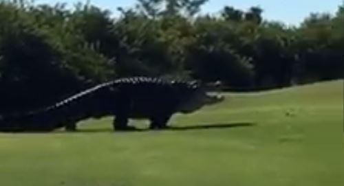 Огромный 5-метровый аллигатор по прозвищу Чаббс появился на поле для гольфа во Флориде