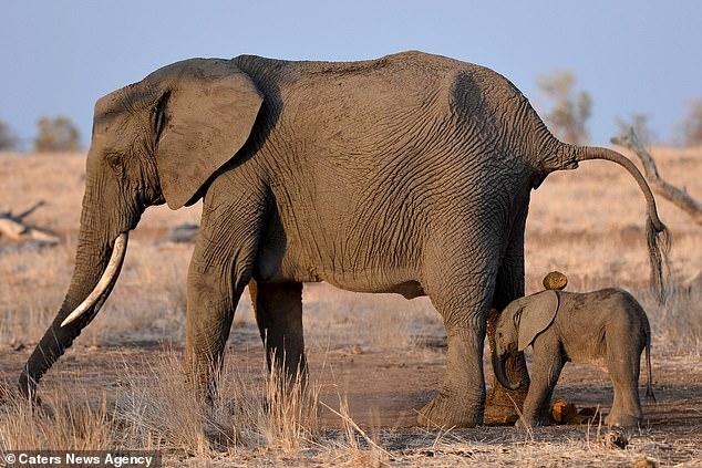 Слоненок познает почему не нужно стоять позади слона