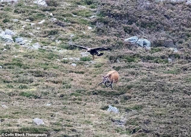 Фотограф заснял поразительный момент, когда беркут падает на молодого оленя