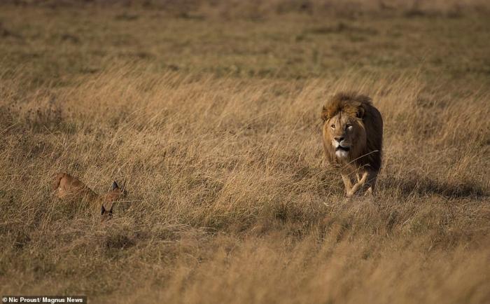 Рычащая мать каракала противостоит голодному льву, который собирался съесть её котенка