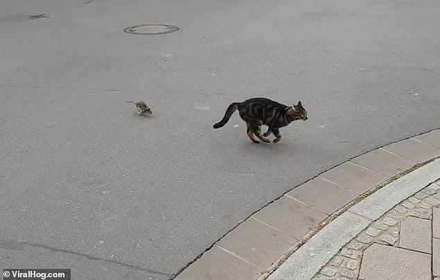Смешно! Кот испугался небольшой крысы. И крыса, видимо, поймает кота