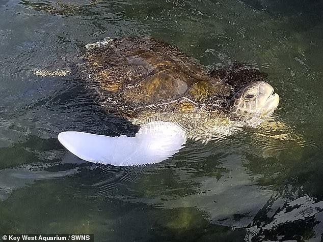 Морская черепаха инвалид впервые поплыла с протезным плавником
