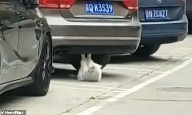 Смешное видео, кошка качает пресс под машиной, потом быстро замирает, когда двое мужчин идут мимо