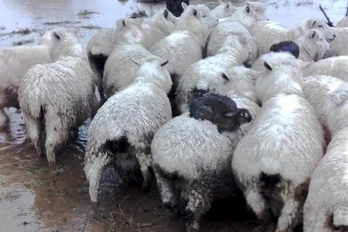Фото кроликов забравшихся на спины овец, чтобы не намочить свои лапки во время паводка
