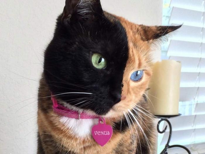 Знакомьтесь с Венерой, двуличной кошкой и интернет сенсацией