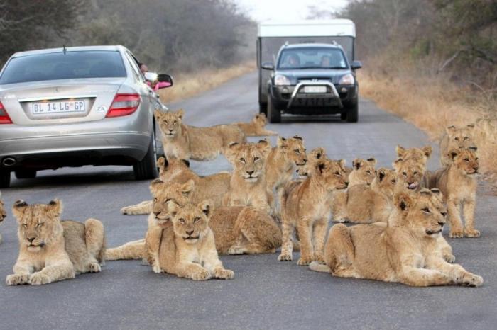 На невероятных фото прайд львов и детенышей, блокирующих движение машин в Южной Африке