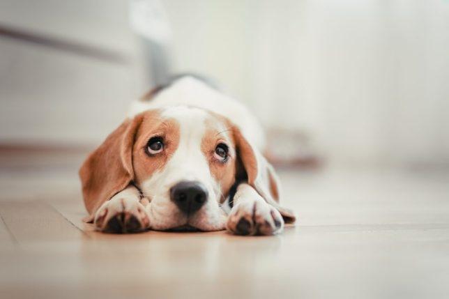 Эксперты предупреждают, что крик на вашу собаку может привести только к ухудшению её поведения