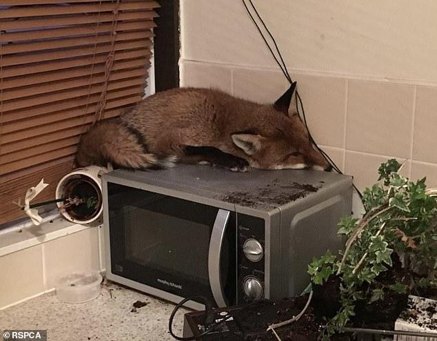 Семья находит дерзкого лиса, спящего на микроволновке, когда они спускаются на завтрак